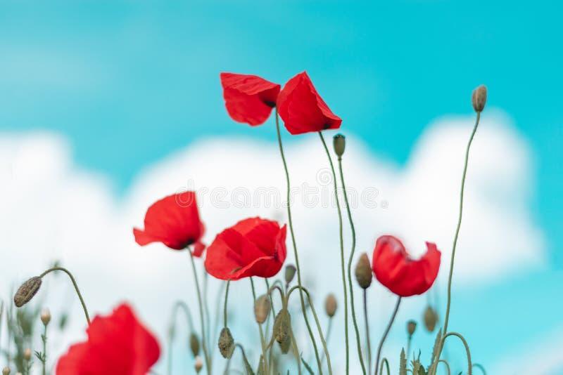 Rode papaverbloem op gebied royalty-vrije stock afbeelding