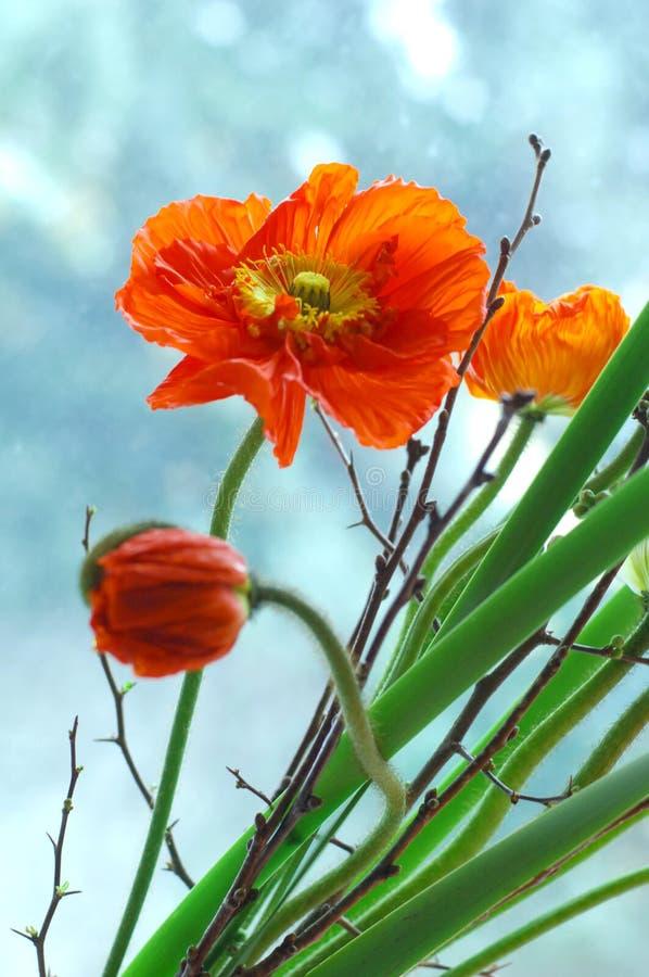Rode papaverbloemen royalty-vrije stock foto