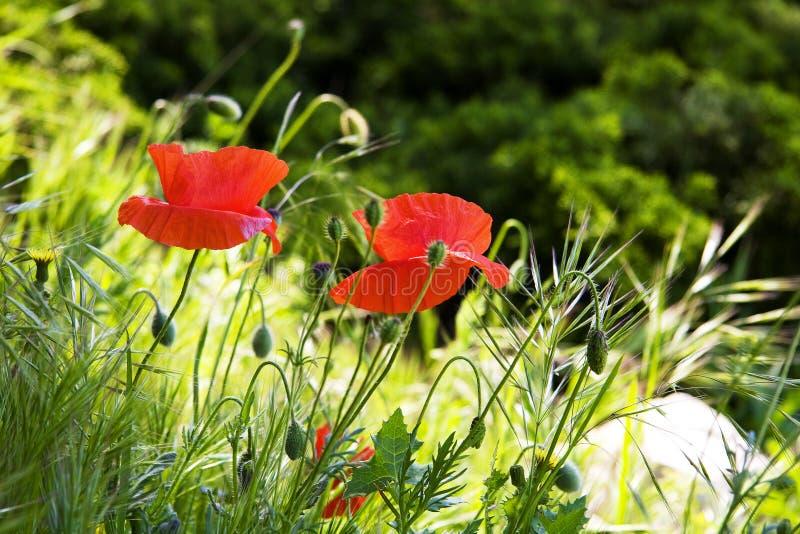 Rode papaverbloemen op het gebied royalty-vrije stock afbeeldingen