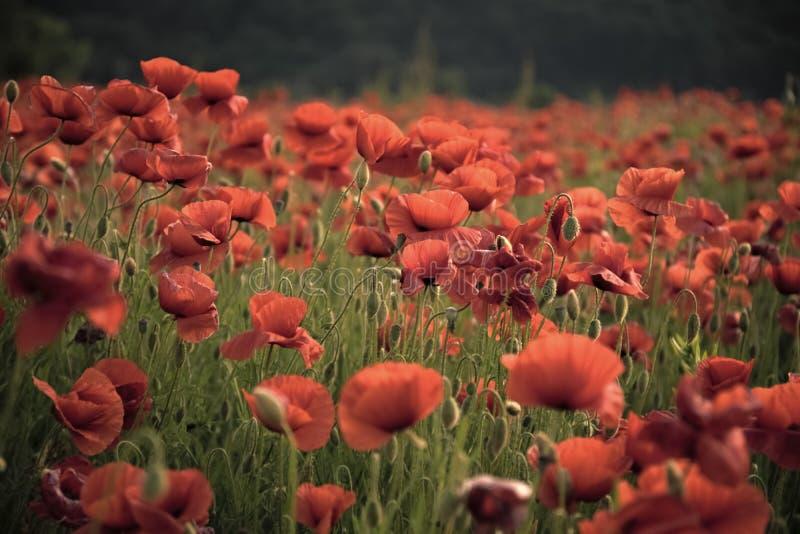 Rode papavers De herinneringspapaver - papaverberoep royalty-vrije stock fotografie