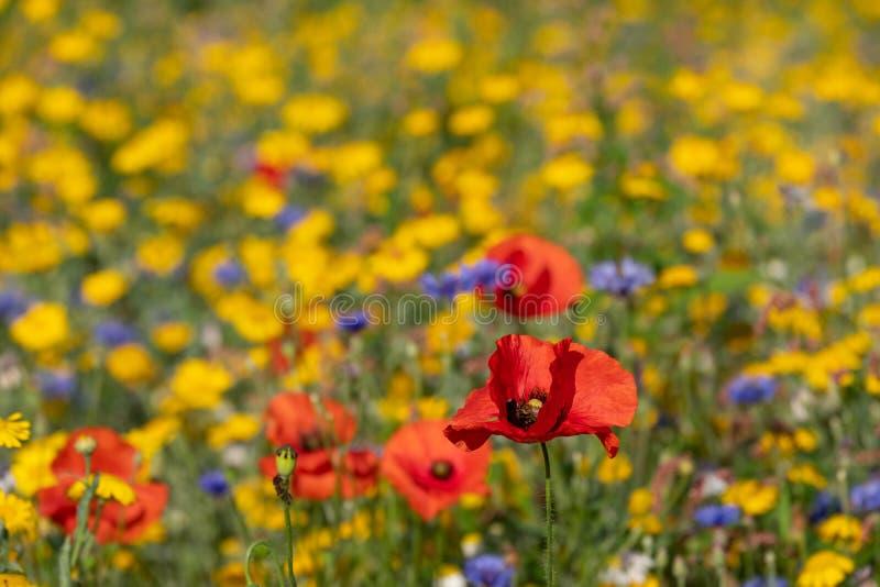 Rode papavers die op een gebied van kleurrijke wilde bloemen groeien, dat in de vroege ochtendzon wordt gefotografeerd in Gunners stock afbeelding