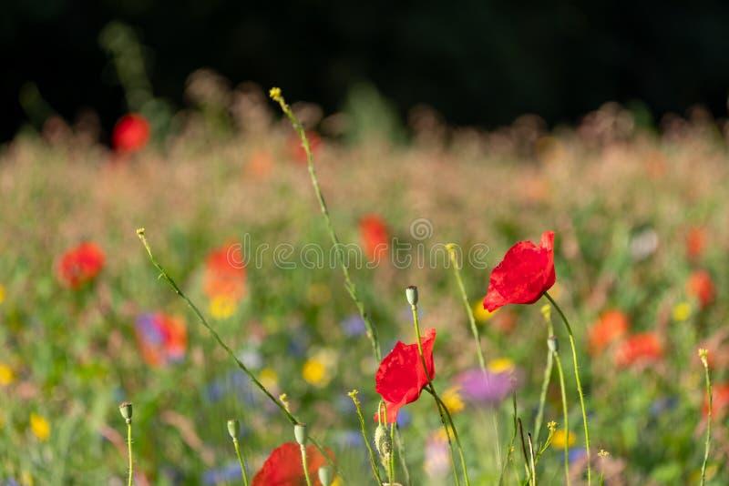 Rode papavers die op een gebied van kleurrijke wilde die bloemen groeien, in de vroege ochtendzon wordt gefotografeerd in Gunners royalty-vrije stock foto's