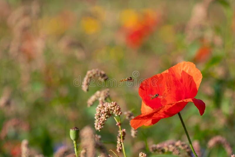 Rode papavers die op een gebied van kleurrijke wilde die bloemen groeien, in de vroege ochtendzon wordt gefotografeerd in Gunners stock foto's
