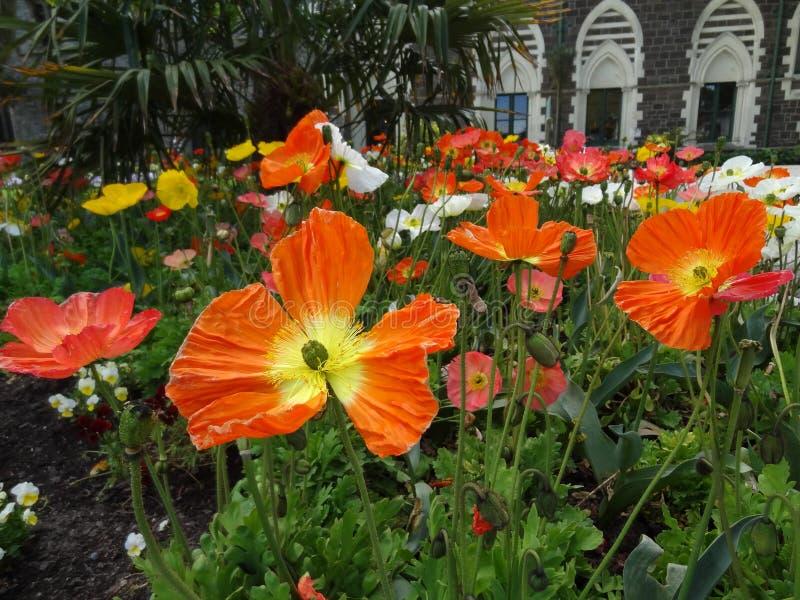 Rode Papavers die wildernis in de Botanische Tuinen van Christchurch kweken royalty-vrije stock foto