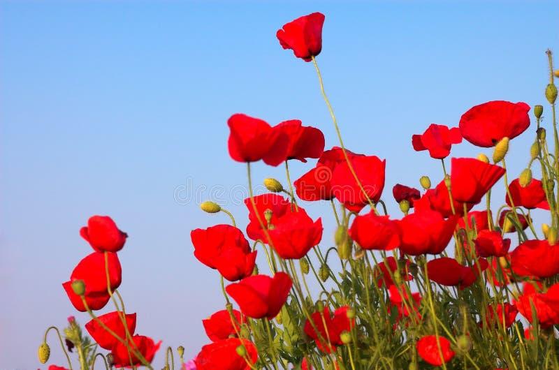 Rode papavers en blauwe hemel royalty-vrije stock afbeelding