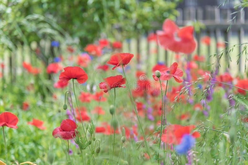 Rode papavers en blauwe korenbloemen die in tuin met witte piketomheining bloeien op achtergrond royalty-vrije stock afbeelding