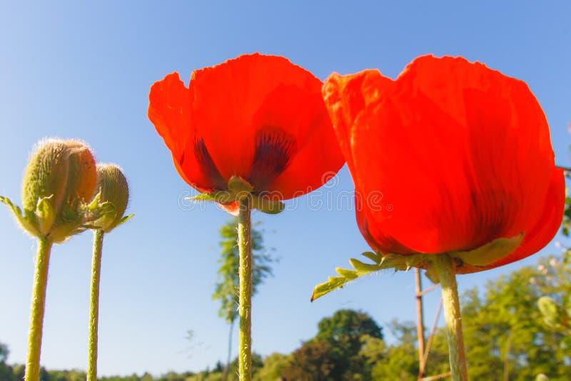 Rode papavers op een achtergrond van blauwe hemel royalty-vrije stock foto