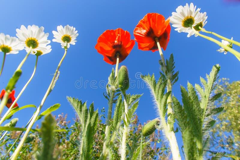 Rode papavers op een achtergrond van blauwe hemel stock afbeeldingen