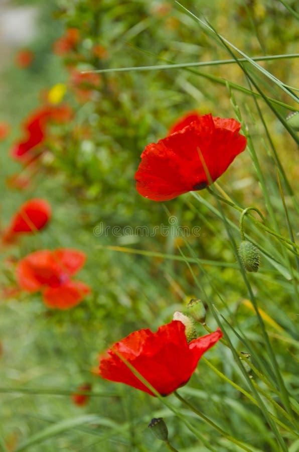 Rode Papavers van Toscanië stock foto