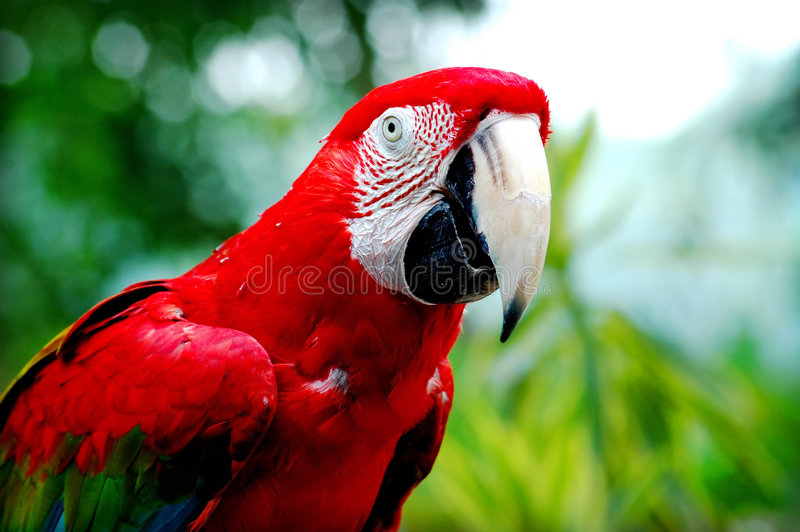 Rode Papegaai royalty-vrije stock afbeelding