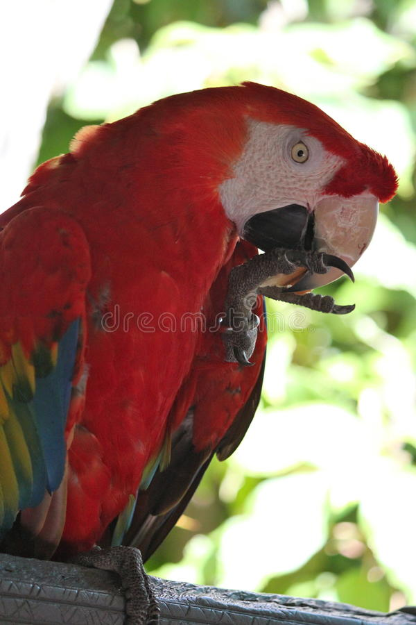 Rode papegaai royalty-vrije stock foto