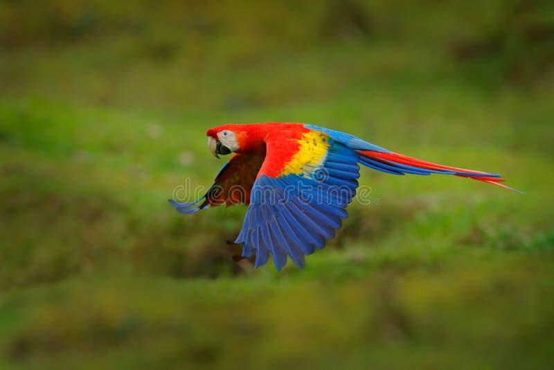 Rode papegaai in bosarapapegaai die in donkergroene vegetatie vliegen Scharlaken Ara, Aronskelken Macao, in tropisch bos, Costa R stock foto's