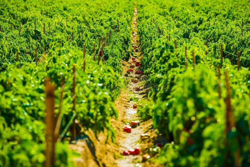 Rode Paprika Field royalty-vrije stock foto