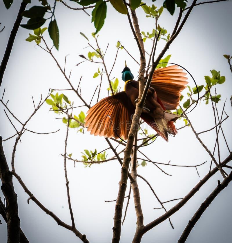 Rode paradijsvogel stock afbeeldingen