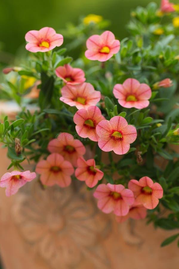 Rode Petunia stock fotografie