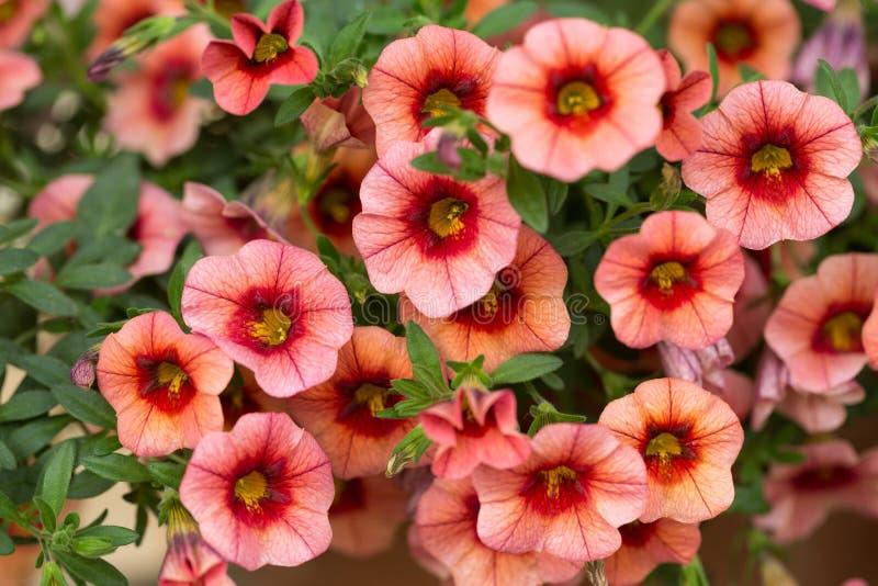 Rode petuniabloemen in tuin stock foto