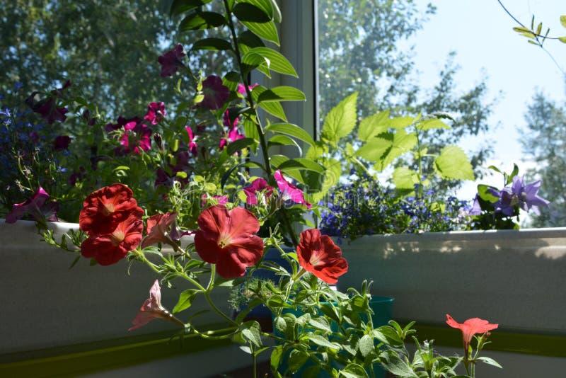 Rode petuniabloemen in zonnige de zomerdag Kleine tuin op het balkon met bloeiende installaties in containers en potten royalty-vrije stock foto
