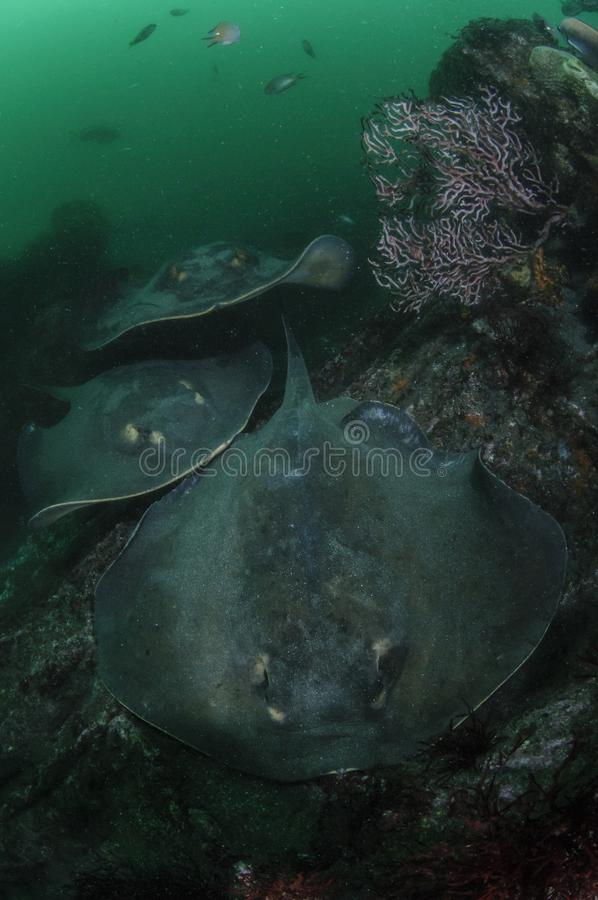Rode Pijlstaartroggen die in Groene Wateren van Japan zwemmen stock foto's