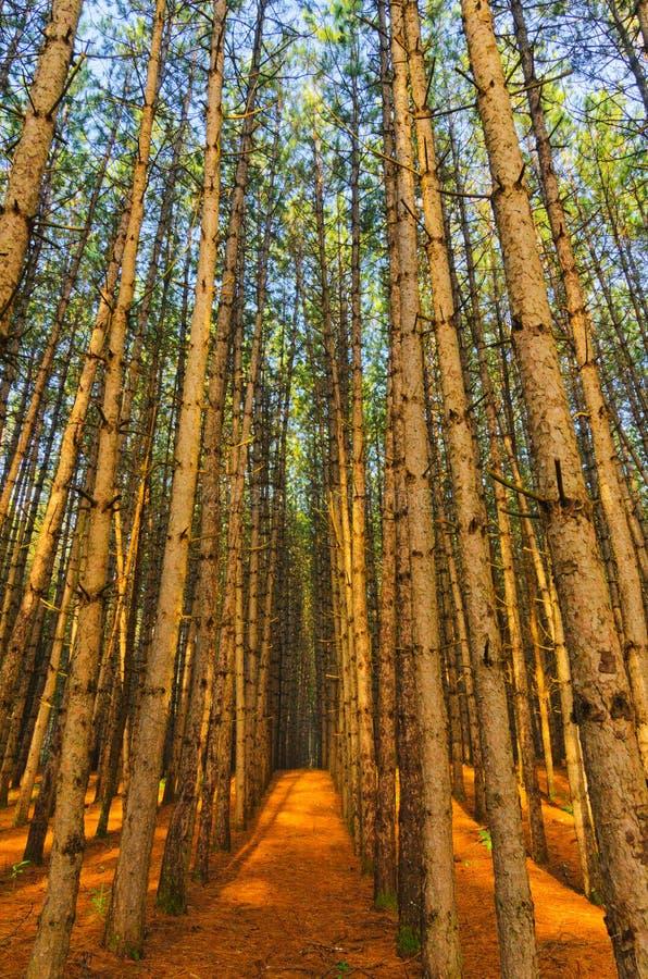 Rode Pijnboom Forest Grove van Bomen royalty-vrije stock foto