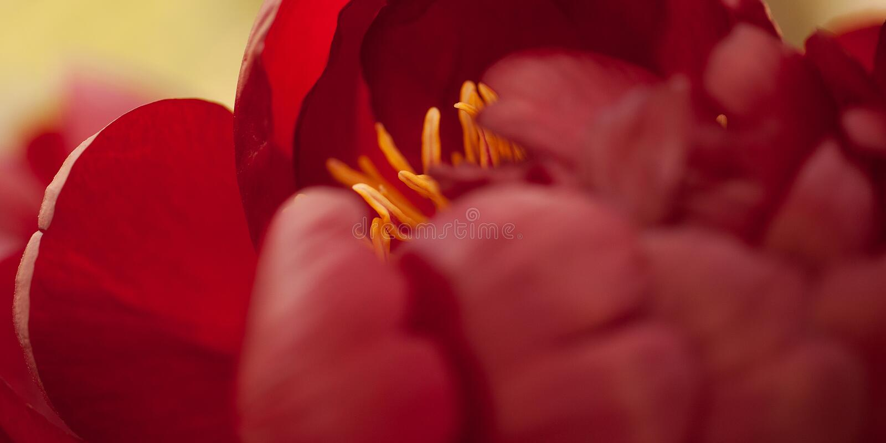 Rode pioenbloem stock fotografie