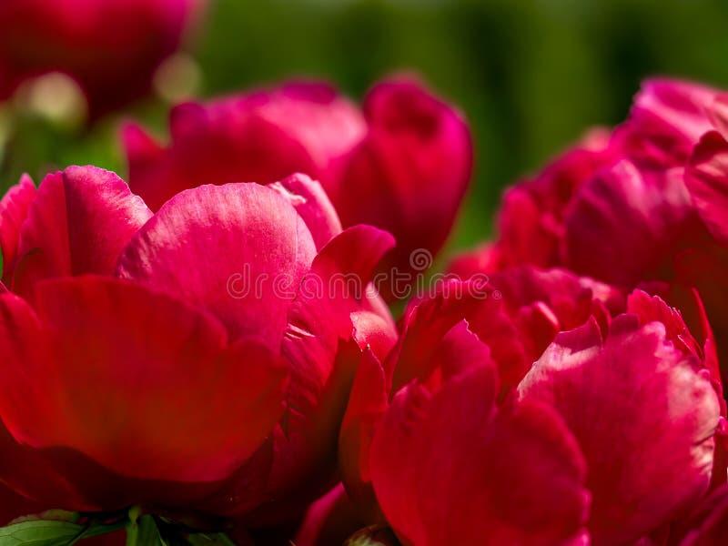 Rode pioenbloemen royalty-vrije stock foto