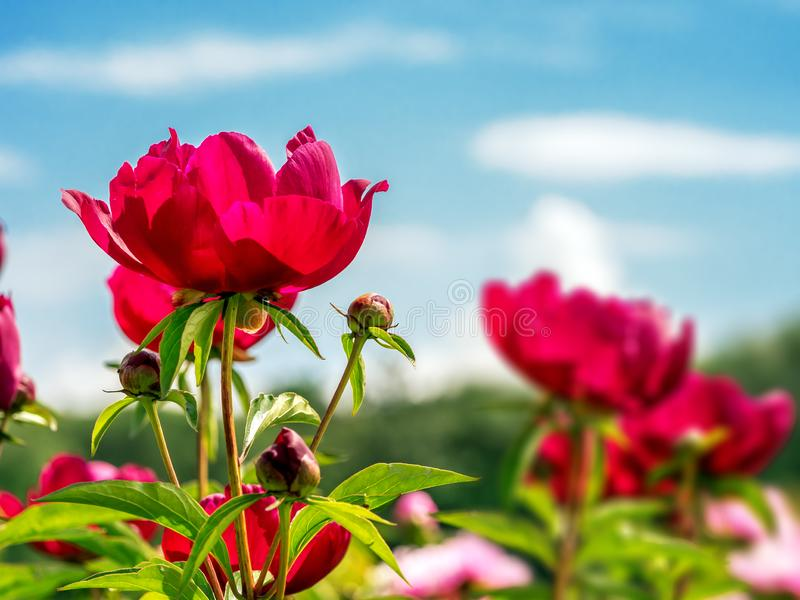 Rode pioenbloemen royalty-vrije stock fotografie