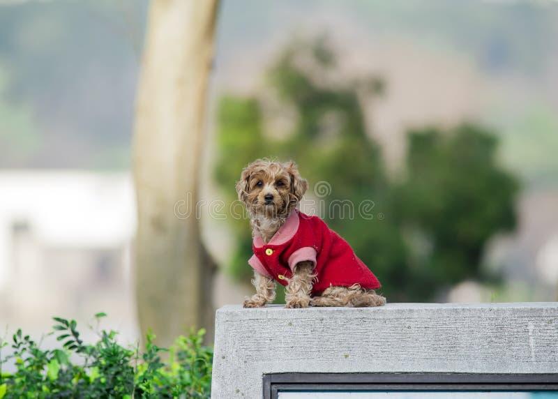 Rode Poedel (Hond) stock foto's