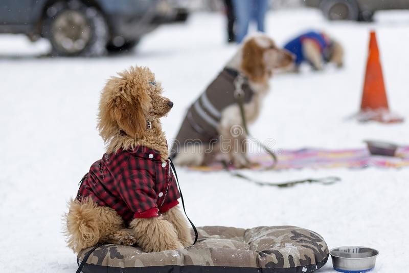 Rode poedel in opleiding in de winter stock foto