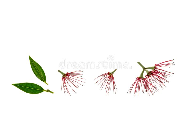 Rode pohutukawabloemen en bladeren op witte achtergrond royalty-vrije stock fotografie