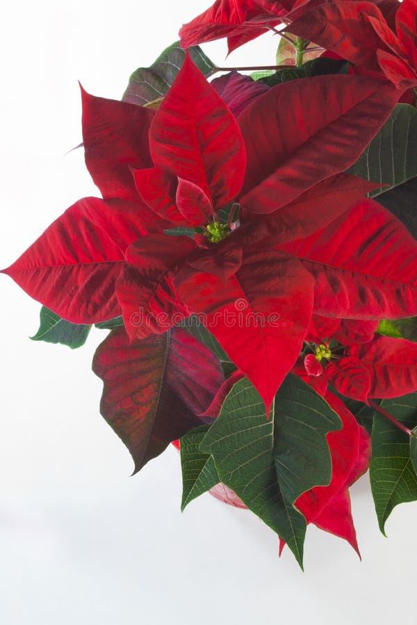 Rode Poinsettia stock afbeelding