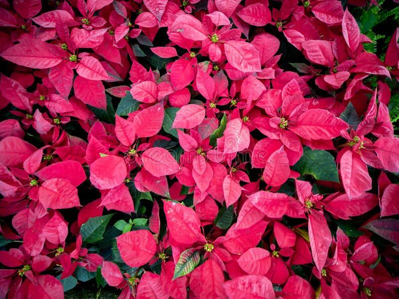 Rode poinsettiabladeren royalty-vrije stock foto