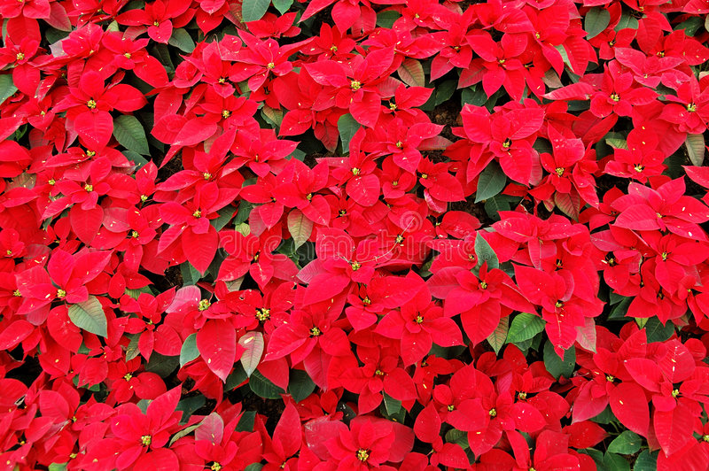 Rode poinsettiainstallaties stock afbeeldingen