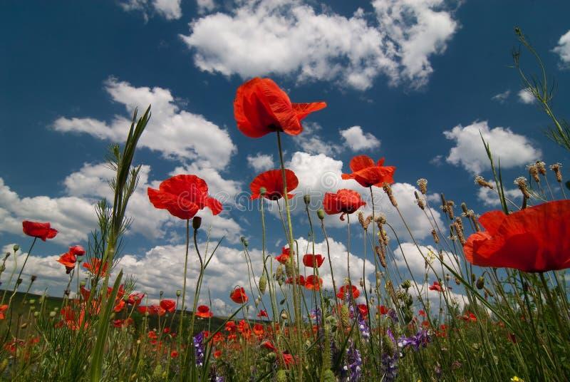 Rode popies op een blauwe bewolkte hemel stock fotografie