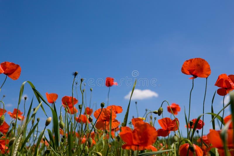Rode poppie tegen een blauwe hemel royalty-vrije stock afbeeldingen