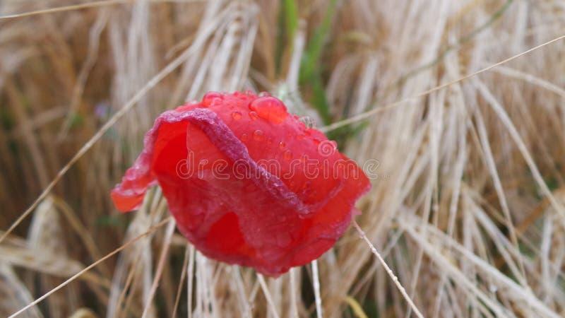 Rode Poppy Flower - tarwegebied stock foto's