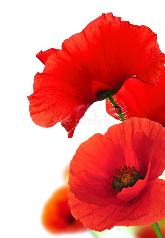 Rode Poppy Flowers Over White Bloemen achtergrond royalty-vrije stock afbeeldingen