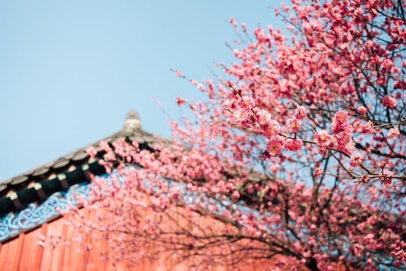 Rode pruimbloesems met Koreaans oud traditioneel huis in Bongeunsa-tempel - bloei nadruk stock afbeelding