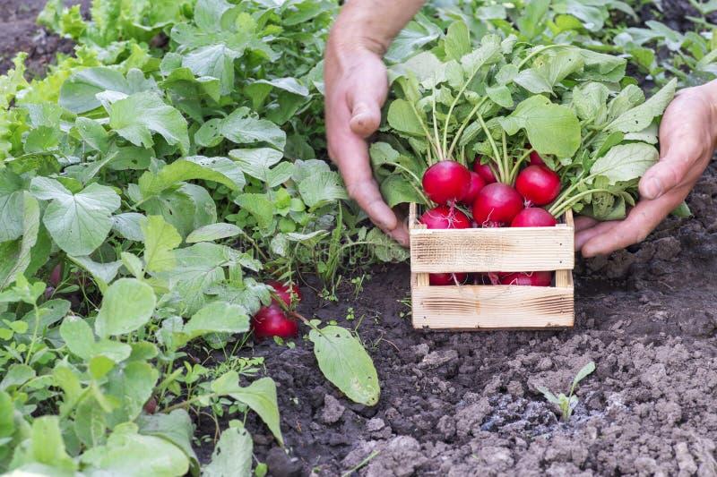 Rode radijs met weelderige groene bovenkanten in de handen van een landbouwer in een houten doos in de tuin Achtergrond royalty-vrije stock foto
