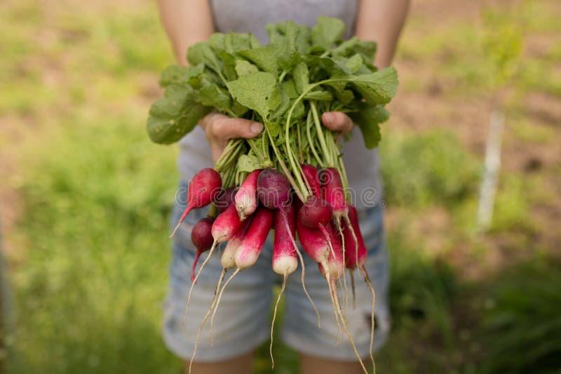 Rode radijzen Landbouwer met oogstradijzen Landbouwbedrijf verse groenten van de tuin, de organische landbouwconcept stock afbeelding