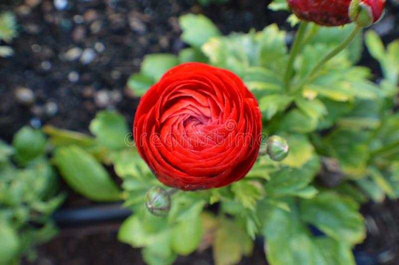 Rode Ranunculus, Perzische boterbloemenbloem stock afbeelding
