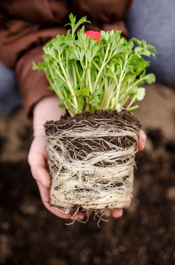 Rode ranunculus wortels stock afbeeldingen