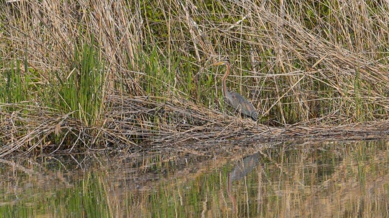 Rode reiger in het riet van het moeras stock foto's