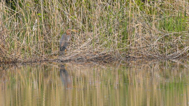 Rode reiger in het riet van het moeras royalty-vrije stock fotografie