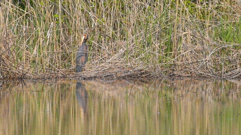 Rode reiger in het riet van het moeras stock foto