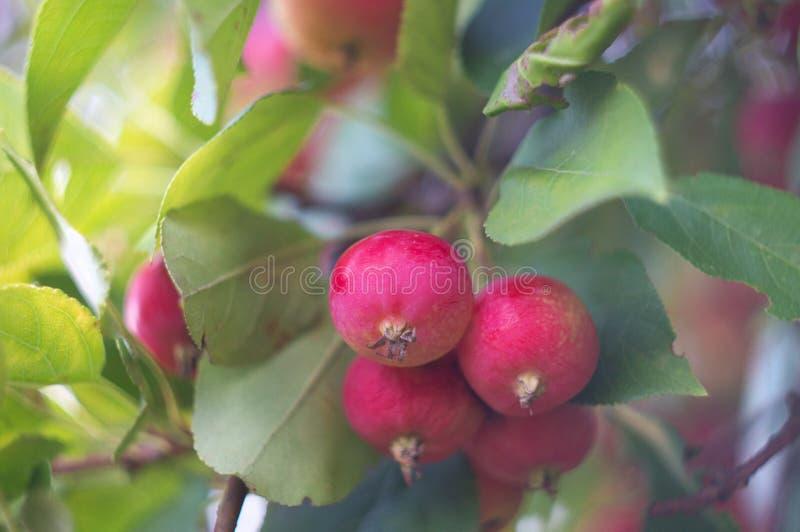 Rode rijpe appelen op een appelboom De herfstoogst van vruchten in een rustieke tuin Aard op de boomgaardachtergrond van het dali royalty-vrije stock foto's
