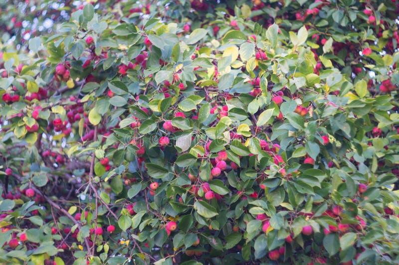 Rode rijpe appelen op een appelboom De herfstoogst van vruchten in een rustieke tuin Aard op de boomgaardachtergrond van het dali royalty-vrije stock fotografie
