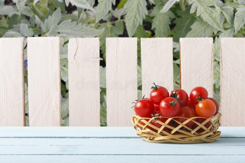 Rode rijpe kersentomaten op rieten mand in tuin Houten lijst aangaande achtergrond van houten omheining en tomatenplant Zachte na royalty-vrije stock fotografie
