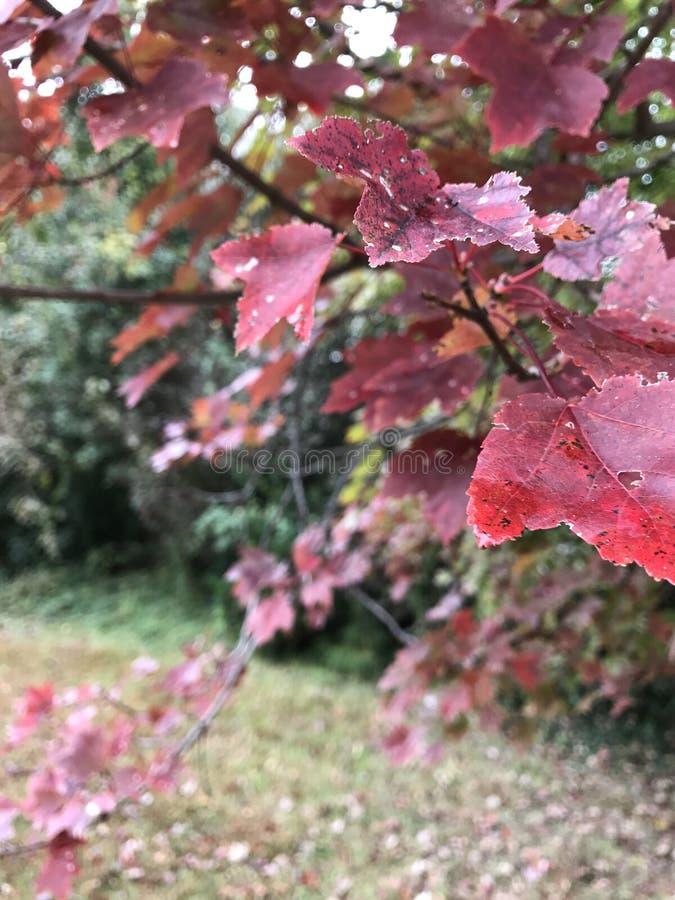 Rode robijnen stock foto