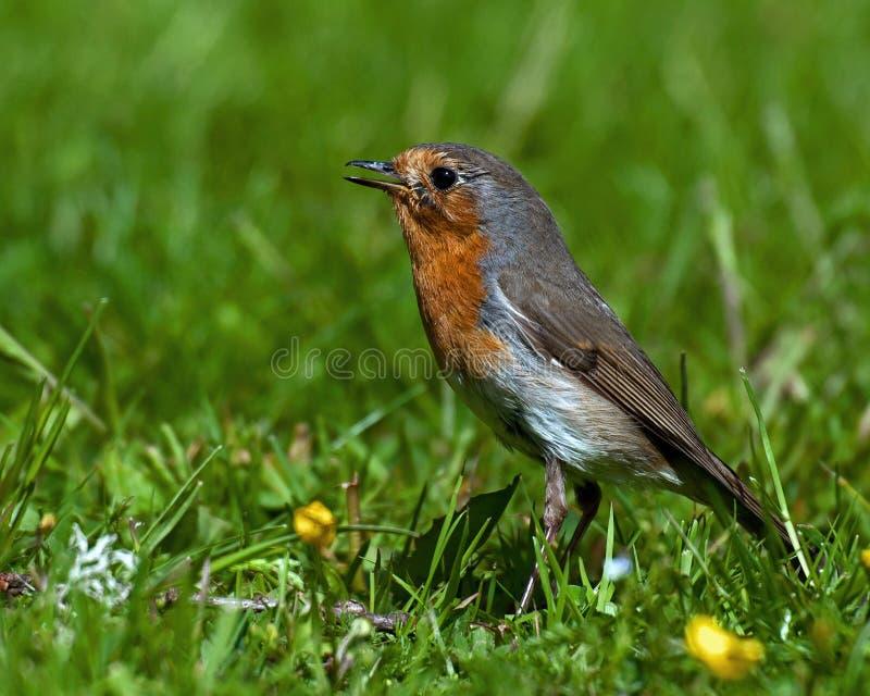 Rode Robin die zich in een weelderig gazon bevinden royalty-vrije stock afbeelding