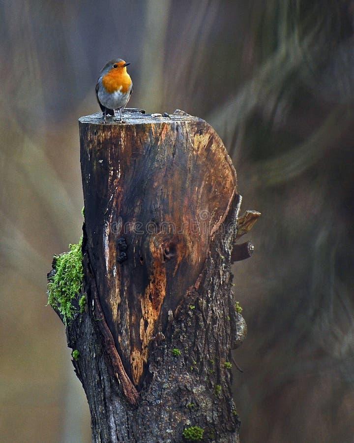 Rode Robin die zich op een oude stomp bevinden stock fotografie